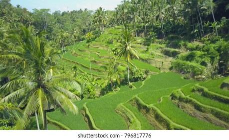 AERIAL: Long serpentine rice terraces creating a natural green staircase to palm tree forest on a pretty sunny day. Vivid shades of green ranging from fertile rice paddies to lush tropical rainforest.