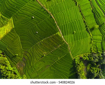 Aerial panorama of the green rice fields. Bali, Indonesia