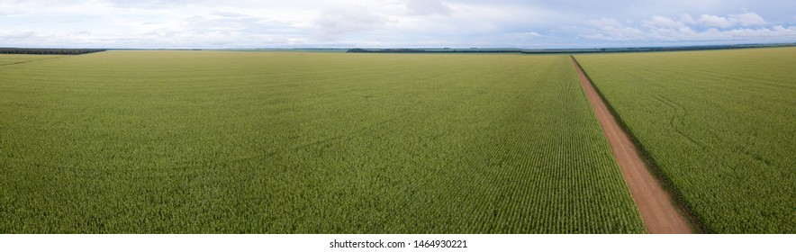 Aerial panorama view of Cornfield and dirt road in clear summer day. Agriculture, harvest and farm concept. Genetically modified and transgenic corn for export, produced in Mato Grosso, Brazil.