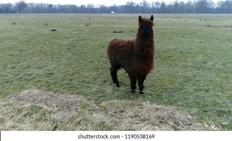 Aerial photo of brown colored alpaca on green meadow during winter season these animals are a species of South American camelid similar to and often confused with the llama