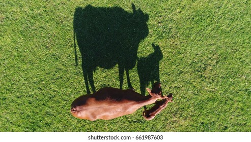 Aerial photo to down view of Aberdeen Angus cattle mother cow and calf close together in green field