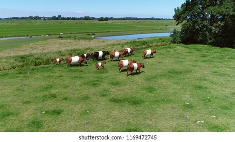 Aerial photo of Dutch Belted also known as Lakenvelder is breed of dairy cattle tracing back directly to the original canvassed cows which were described in Switzerland and Austria