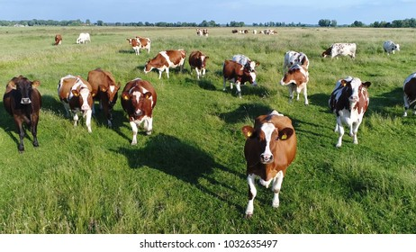 Aerial photo of dutch red holstein cows looking curious into camera standing on grass meadow friesians holstein cattle in short holsteins are known as the world's highest-production dairy animals