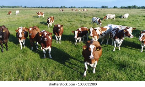 Aerial photo of dutch red holstein cattle looking curious into camera standing on grass meadow friesians holstein cattle in short holsteins are known as the world's highest-production dairy animals