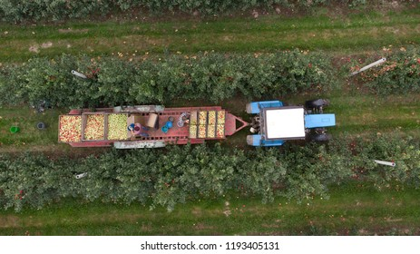 Aerial photo of farmers on tractor driving over apple orchard and picking apples. Harvesting fruits. Many apple trees on a farm