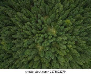 Aerial photo of a green spruce forest in late summer