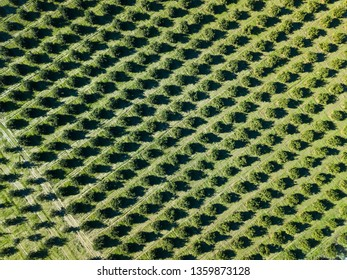 Aerial photo of an orange grove in spring