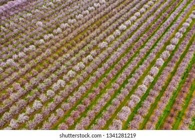 Aerial photo of rows of blooming almond trees in Northern California near Sacramento, pattern, background
