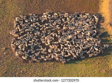 Aerial photography, from a balloon, in the province of Segovia, Spain, of a flock of sheep in a corral and a shepherd dog taking care of the flock.