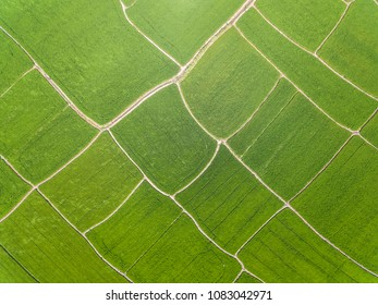 Aerial photography bird-eye view of green rice of rural background