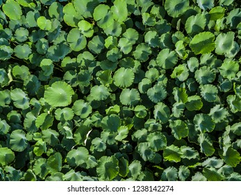 Aerial photography bird-eye view of Lotus leaf nature background