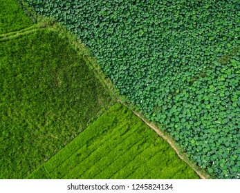 Aerial photography bird-eye view of Lotus leaf nature landscape