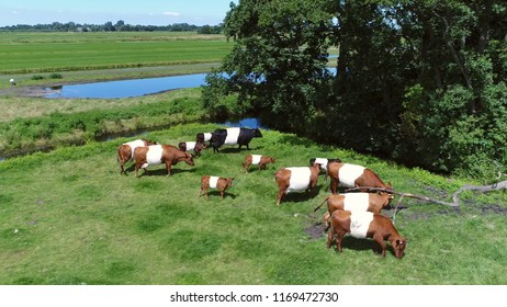 Aerial picture of Dutch Belted also known as Lakenvelder is breed of dairy cattle tracing back directly to the original canvassed cows which were described in Switzerland and Austria