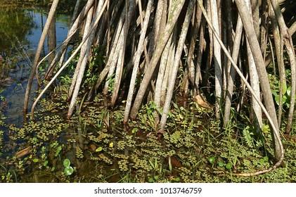 Aerial prop roots of (common screwpine) Pandanus utilis reaches the pond water with aquatic plants.