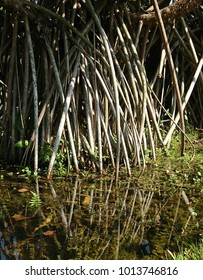 Aerial prop roots of (common screwpine) Pandanus utilis arises from the stem or trunk and reaches the pond water with aquatic plants.