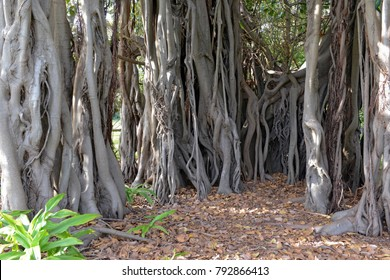 Aerial roots and roots of Banyan tree or Ficus Tree, native to tropical and subtropical climates and is the national tree of India