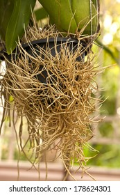 aerial roots of orchid, root of plant, root without soil, roots in the air