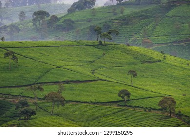 Aerial scenery of tea plantaions in the morning, West Java, Indonesia