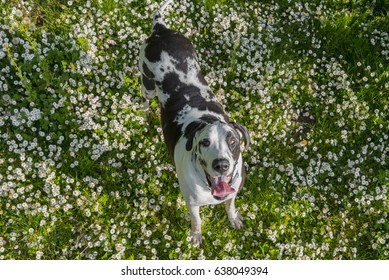 Aerial smiling Harlequin great dane dog in green grass with flowers landscape