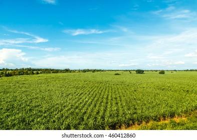 Aerial of sugarcane crops
