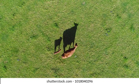 Aerial top down photo of red Aberdeen Angus cattle calf and mother cow walking over fresh green grass field these cows are famous for beef they produce and are second most popular beef breeds