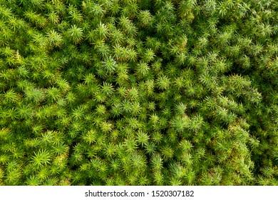 Aerial top view of a beautiful CBD hemp field. Medicinal and recreational marijuana plants cultivation.