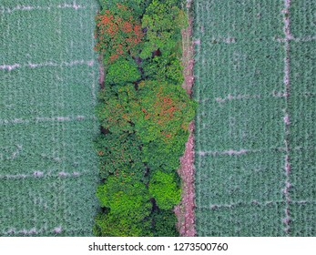 Aerial top view of flamboyant trees (Royal Poinciana) covering a road located between sugarcane fields in Medine, Mauritius