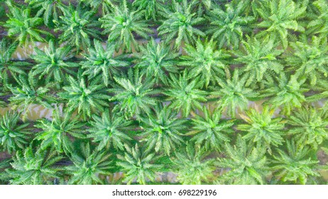 Aerial or top view of palm oil plantation in Asia.Agricultural background.Palm oil or Biodiesel industry.Energy from plant.