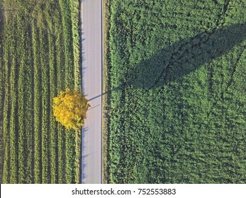 Aerial top view of road between green field with a yellow tree on the side