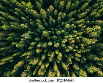 Vue aérienne de dessus d'arbres verts d'été dans la forêt de Finlande rurale. Photographie de drone