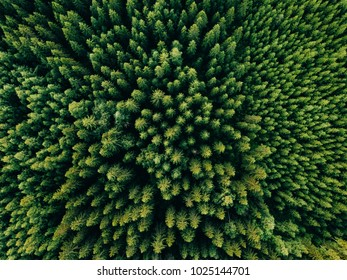 Aerial top view of summer green trees in forest in rural Finland. Drone photography