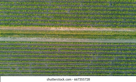 Aerial top view of vineyards landscape from above background