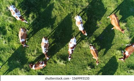 Photo aérienne de haut en bas d'un pré avec un pâturage de bétail rouge Holstein Friesians montrant leurs longues ombres du coucher du soleil dans un champ d'herbe ces vaches sont habituellement utilisées pour la production laitière