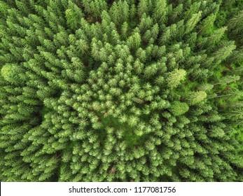 aerial veiw of green alpine forest. drone shot