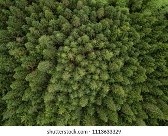 Aerial view from above on the green trees in the forest. Taken in British Columbia, Canada.