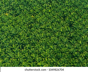 Aerial view of a African palm tree plantation in Costa Rica, Central America. The African palm tree produces the palm oil.
