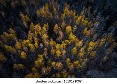 Aerial view of the autumn forest with bright orange foliage on the treetops against a contrasting dark background of the earth