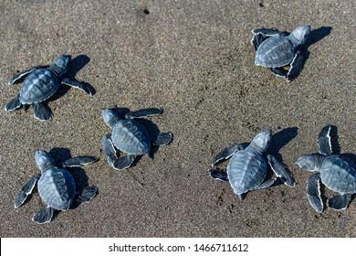 Aerial view of baby Black Sea Turtles in the beach