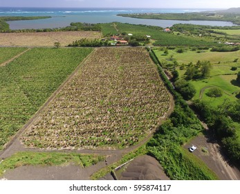 Aerial view of banana fields after hurricane and the coastline on the caribbean island, Martinique
