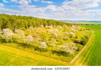Aerial view to beautiful cherry orchard. Spring landscape with blooming trees. Sustainable development and agriculture.