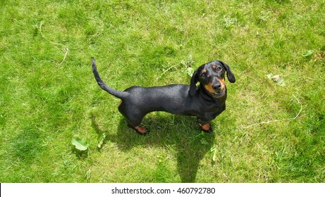 Aerial view of black and brown dachshund standing on green grass.