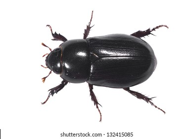 Aerial view of a Black May Beetle or Junebug (Coleoptera: Scarabeidae: Phyllophaga spp) isolated over white background, with clipping path.