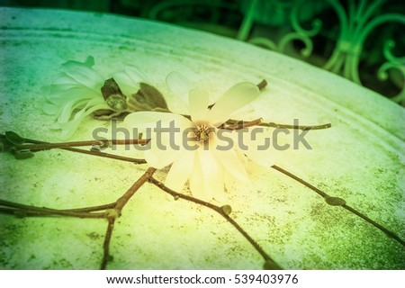 Aerial View Blossoming Star Magnolia Flowers Stock Photo Edit Now