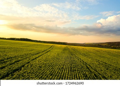 Aerial view of bright green agricultural farm field with growing rapeseed plants at sunset.