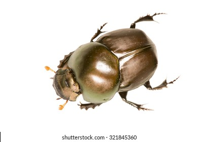Aerial view of a Brown May Beetle or Junebug (Coleoptera: Scarabeidae: Phyllophaga spp) isolated over white background