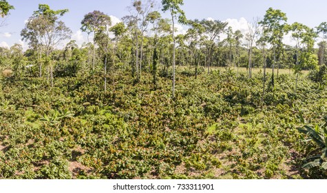 Aerial view of a cacao plantation (Theobroma cacao) in the Ecuadorian Amazon. An unsustainable farm cut out of the rainforest.