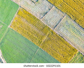 Aerial view from camera drone of yellow Sunn Hemp (Crotalaria juncea) field, it is grown to improve the soil and as source of fodder