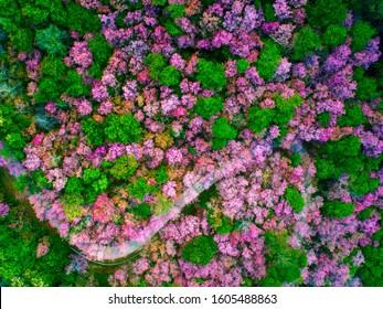 Aerial view of cherry blossom at Phuchifa Park, Chiangrai, Thailand.