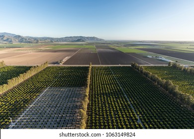 Aerial view of citrus orchards and coastal farm fields near Camarillo in Ventura County, California.