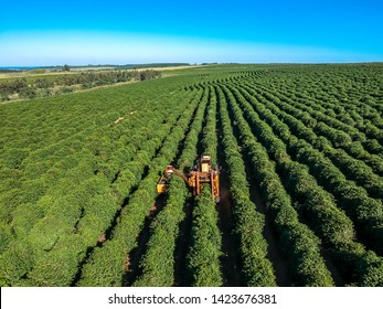 Aerial view of coffee mechanized harvesting in Brazil.